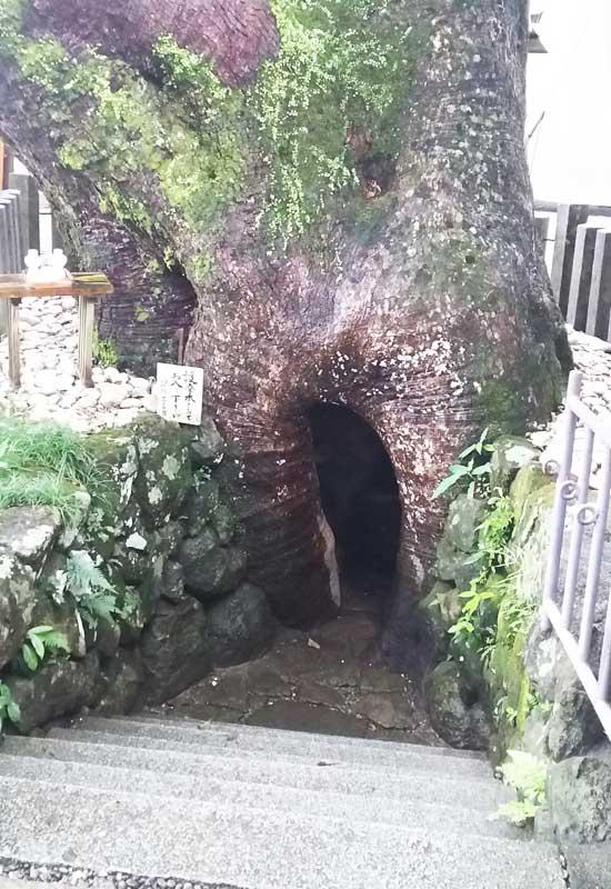 熊野那智大社 大クス 胎内くぐり